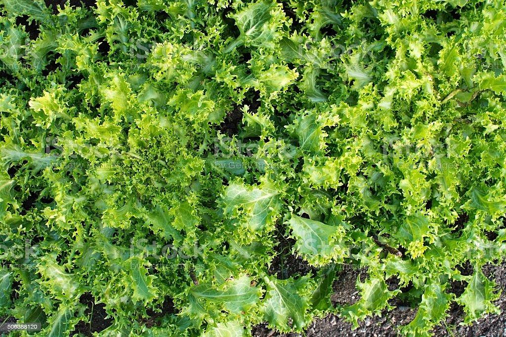 Green salat Cichorium endivia stock photo