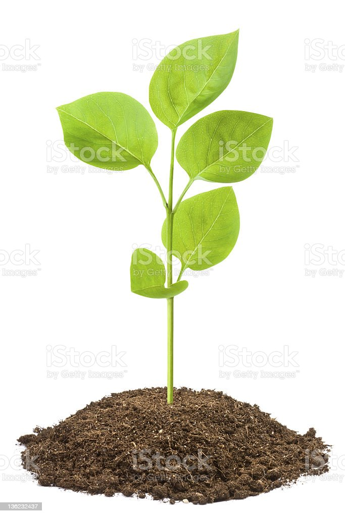 Green sapling stock photo