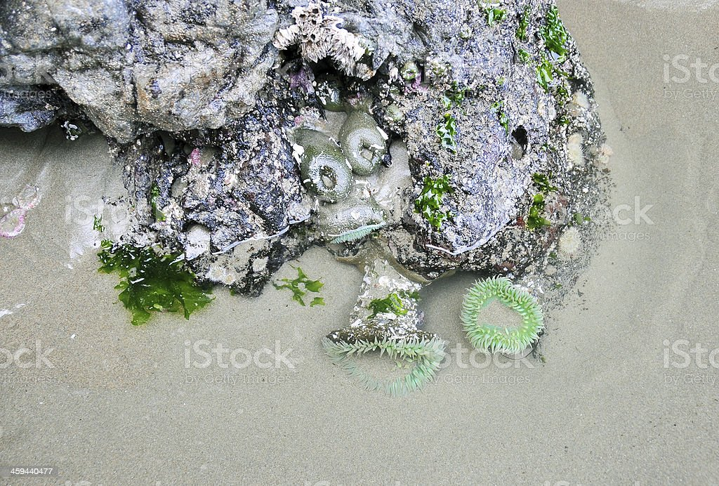 Green Sea Anemones on rocks at low tide stock photo