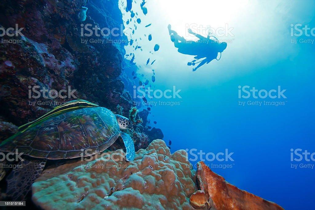 Green Sea Turtle and diver stock photo