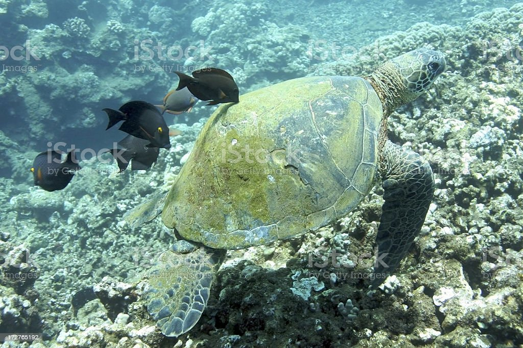 Green Sea Turtle being cleaned by fish stock photo