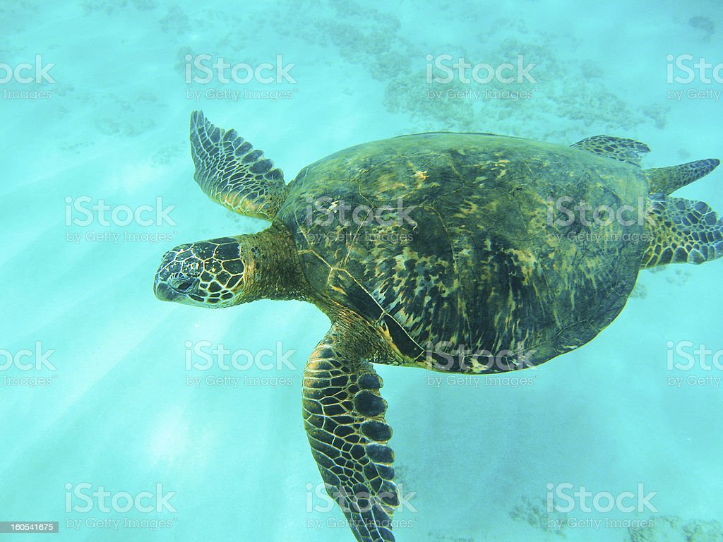 green sea turtle, Chelonia mydas, underwater stock photo