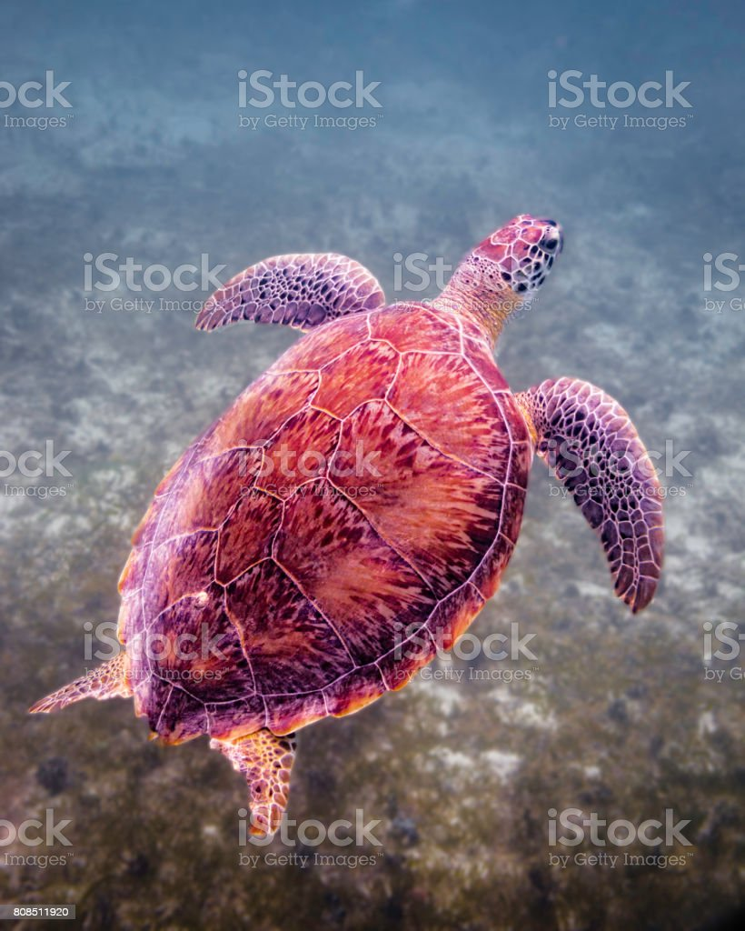 Green sea turtle coming up for air stock photo