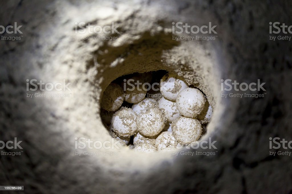 Green sea turtle eggs in sand hole at hatchery site stock photo