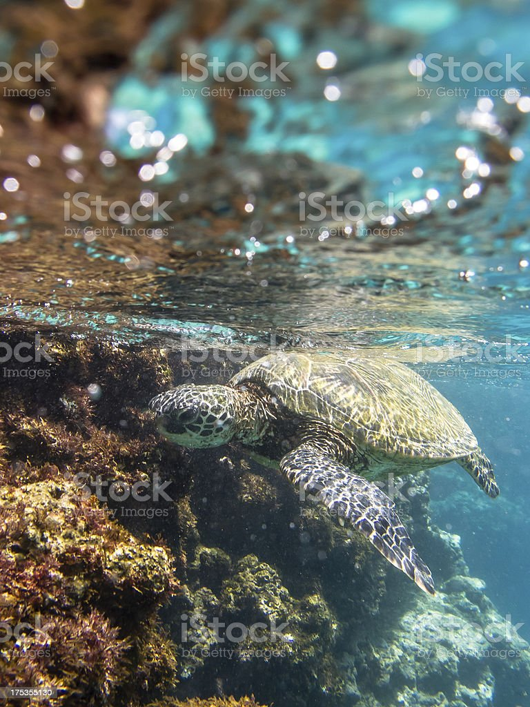 Green sea turtle floating in crystal clear water stock photo