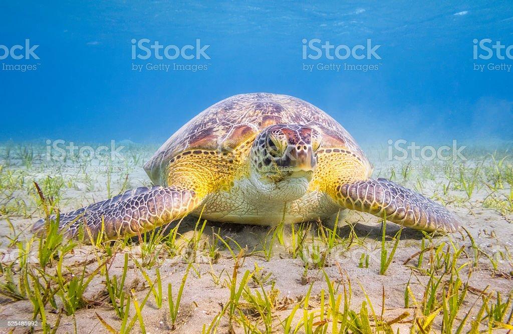 Green Sea Turtle grazing on seagrass bed near Marsa Alam stock photo