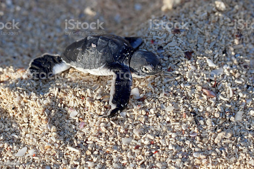 Green Sea Turtle Hatchling stock photo