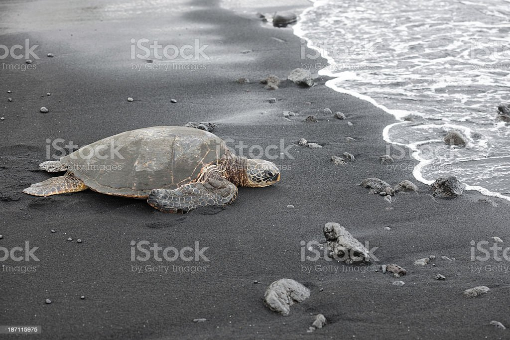 Green Sea Turtle, Hawaii royalty-free stock photo