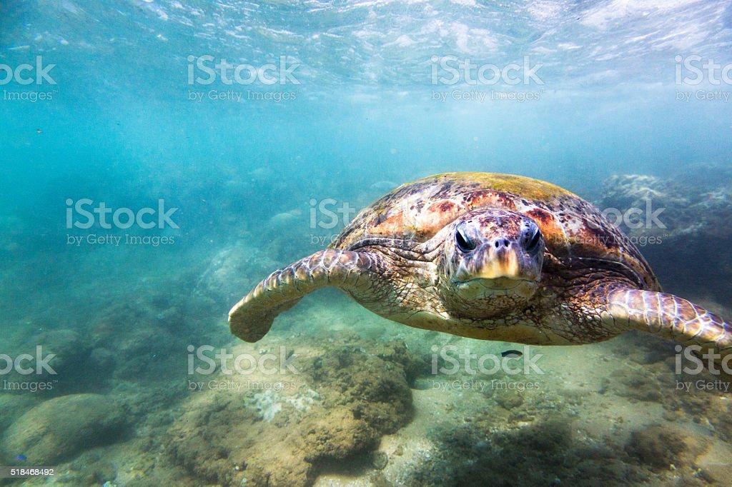 Green sea turtle (Chelonia mydas), Hikkaduwa. stock photo