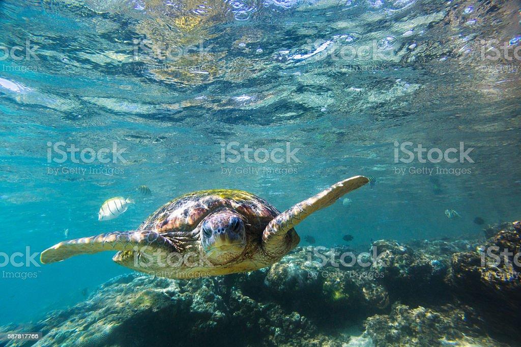 Green sea turtle (Chelonia mydas), Hikkaduwa stock photo