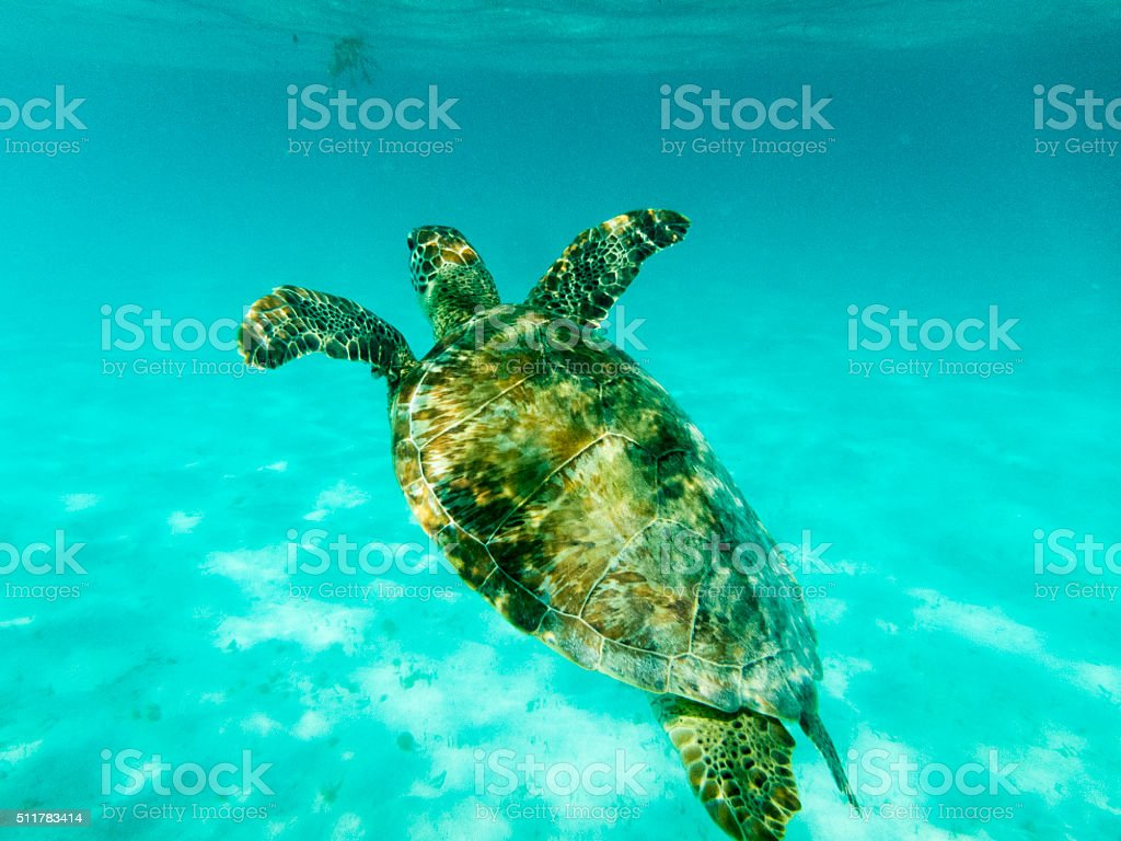 Green Sea Turtle in Sunlit Caribbean Seas at Tobago Cays. stock photo