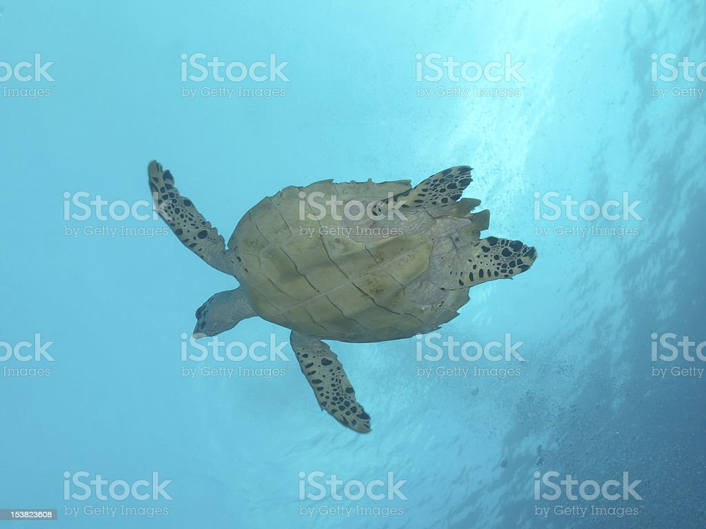 Green Sea Turtle in the ocean stock photo