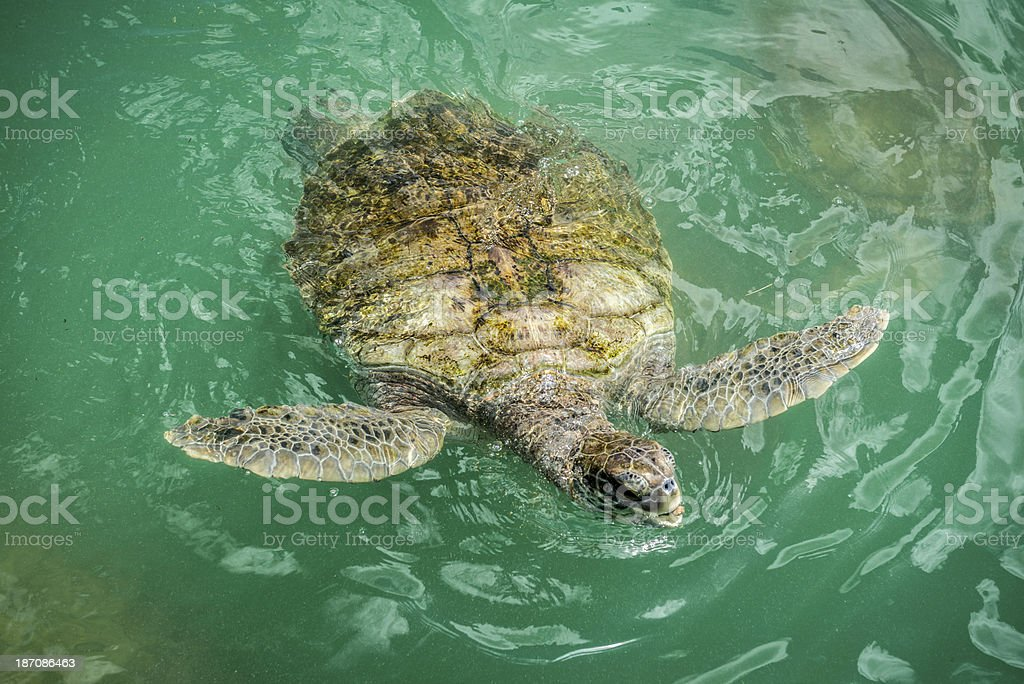 Green Sea turtle in The Water royalty-free stock photo