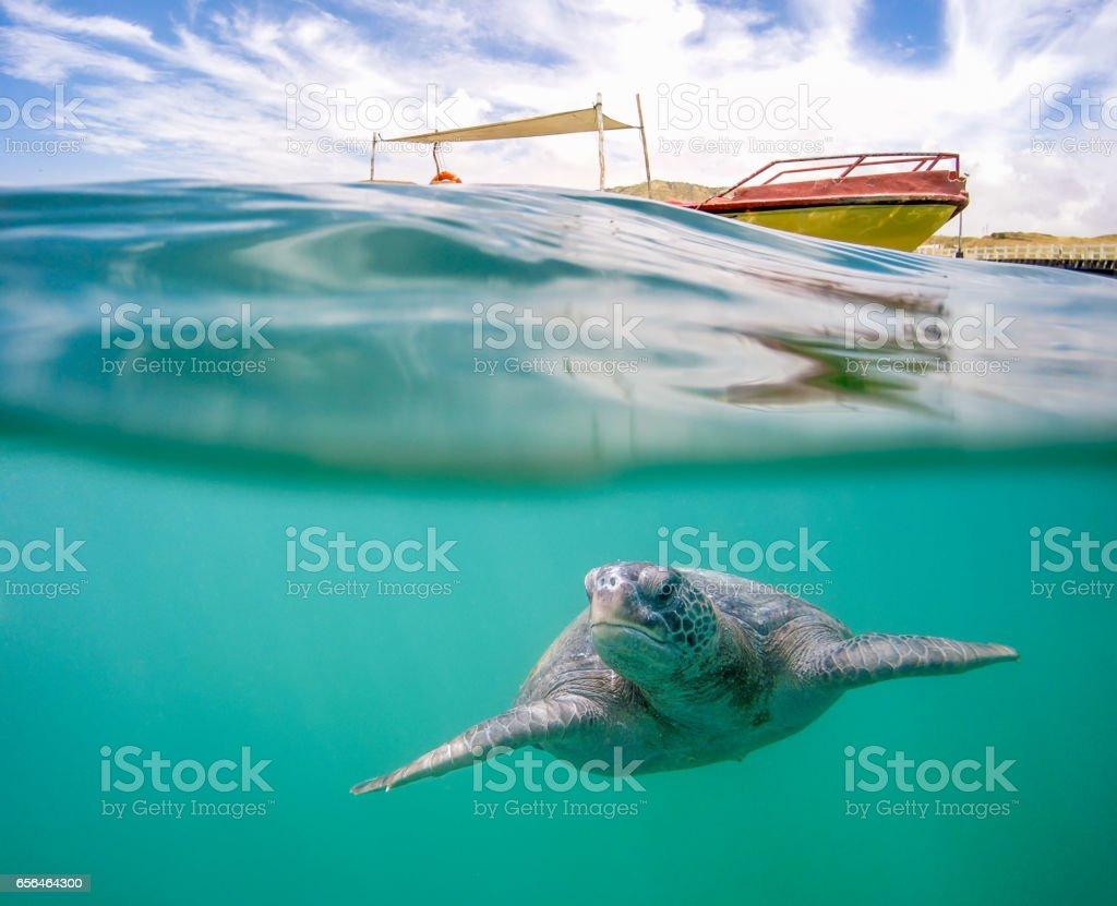Green Sea Turtle In Tropical Waters stock photo
