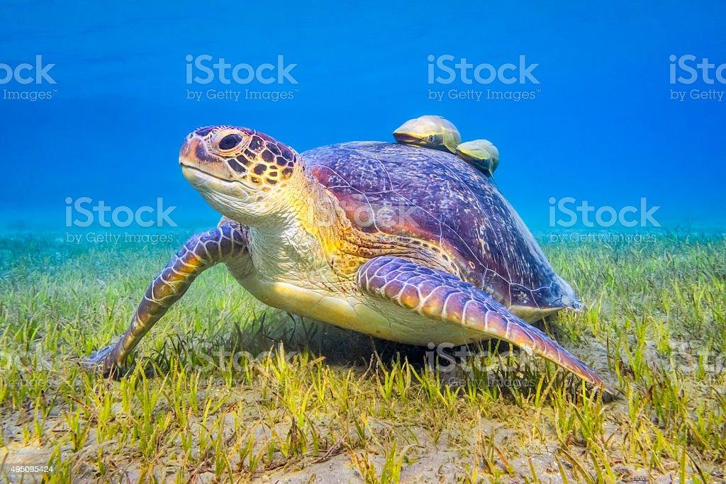 Green sea turtle near Marsa Alam , Egypt stock photo