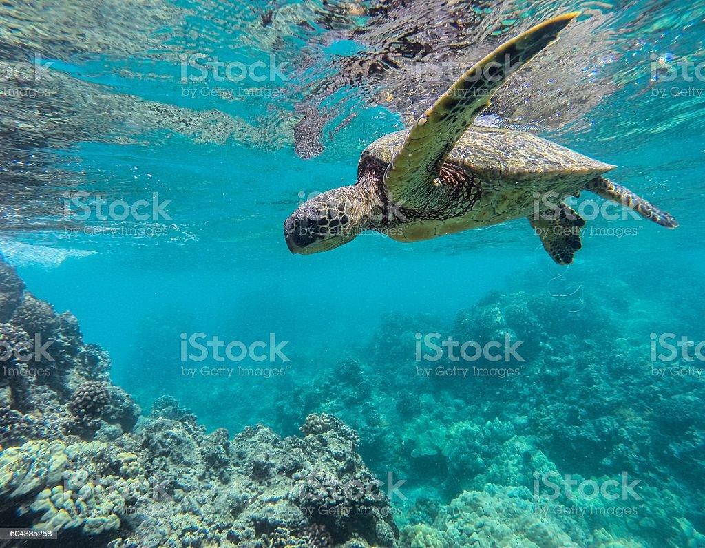 Green Sea Turtle of Maui stock photo