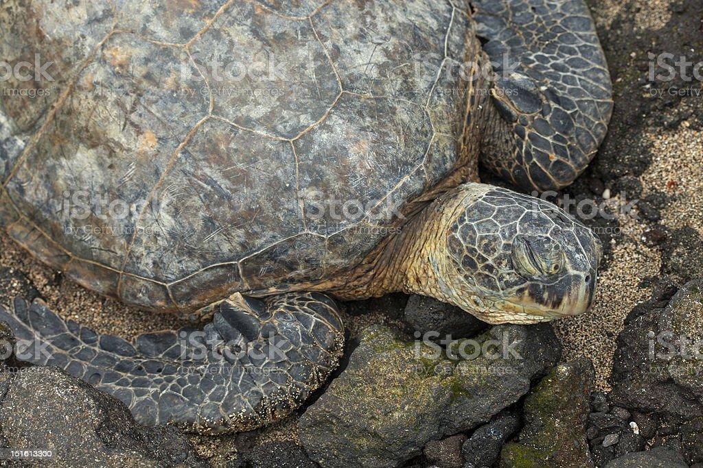 Green Sea Turtle on a Hawaiian beach royalty-free stock photo