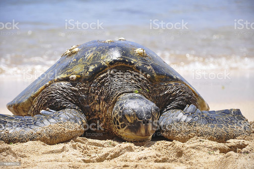 Green sea turtle on beach in Hawaii, Oahu stock photo