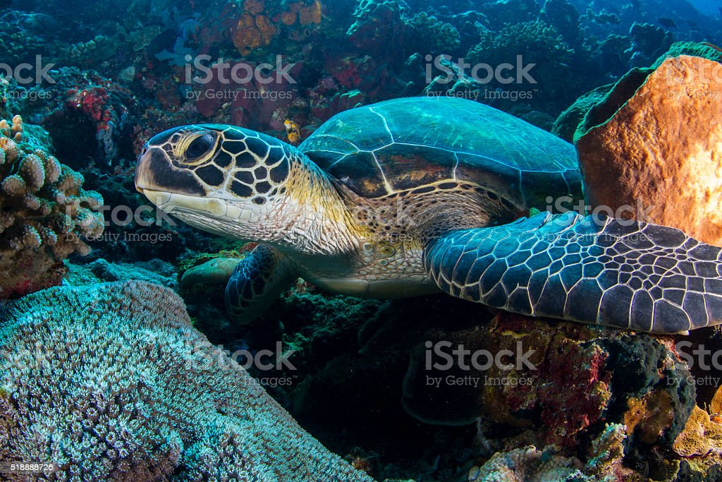 Green sea turtle on Bunaken reef stock photo