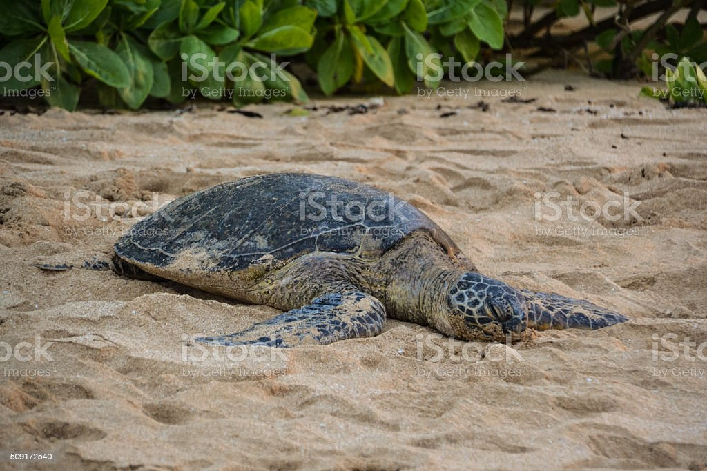 Green sea turtle on Laniakea Beach - Oahu, Hawaii stock photo