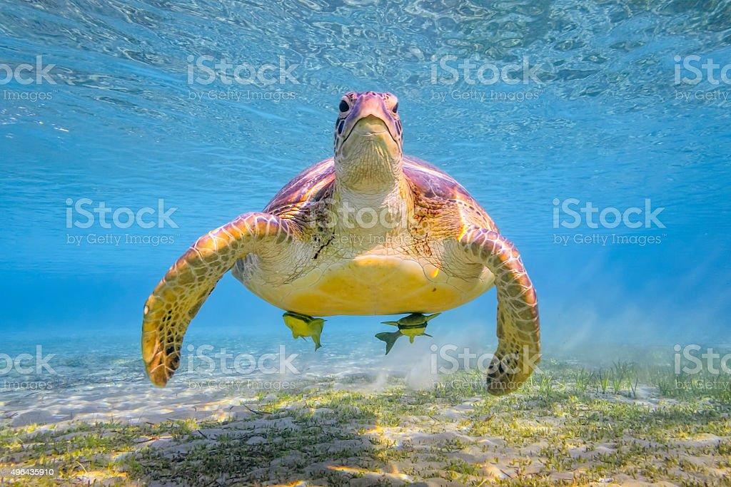 Green sea turtle on Red Sea - Marsa Alam - Egypt stock photo