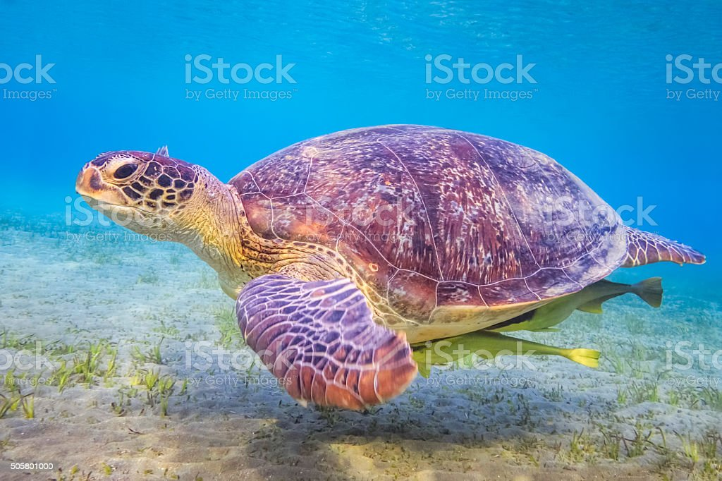 Green sea turtle on Red Sea / Marsa Alam / Egypt stock photo