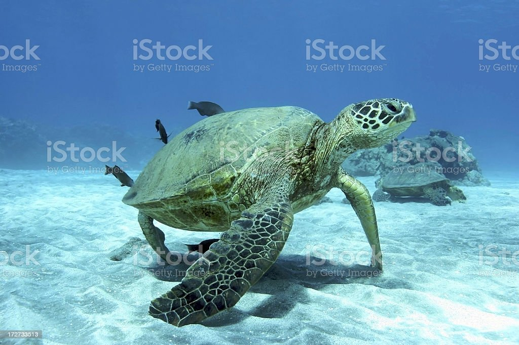 Green Sea Turtle on Sand stock photo
