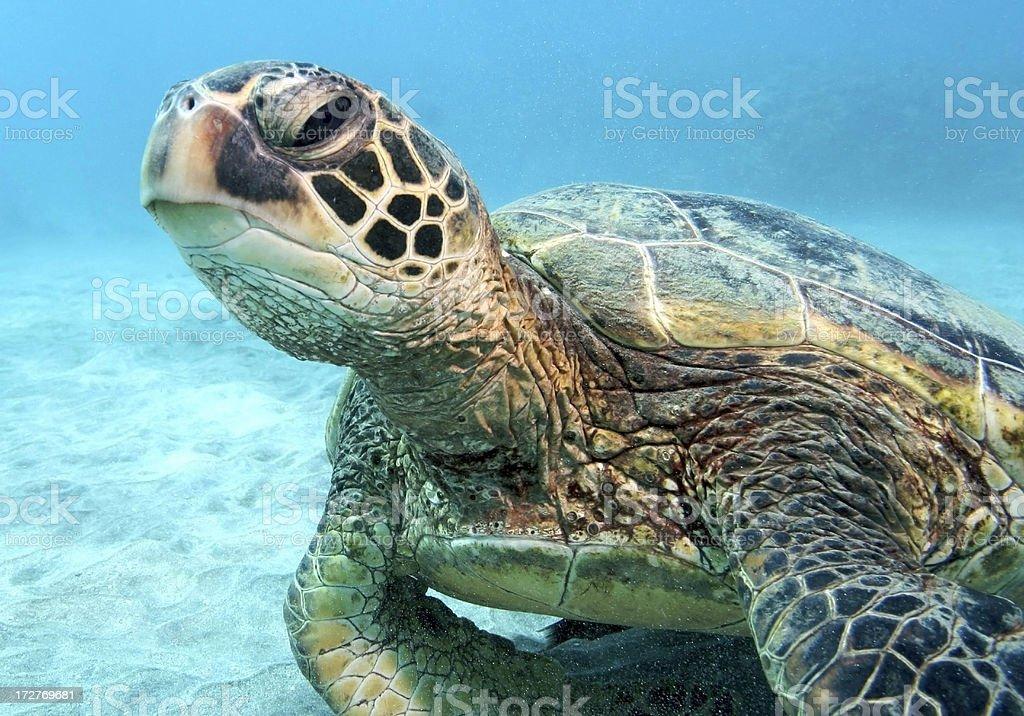 Green Sea Turtle on Sand (Close-Up) stock photo