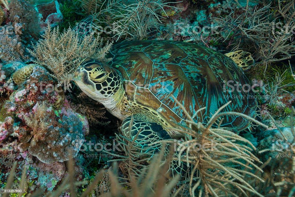 Green Sea Turtle or Hawksbill Sea Turtle - Palau, Micronesia stock photo
