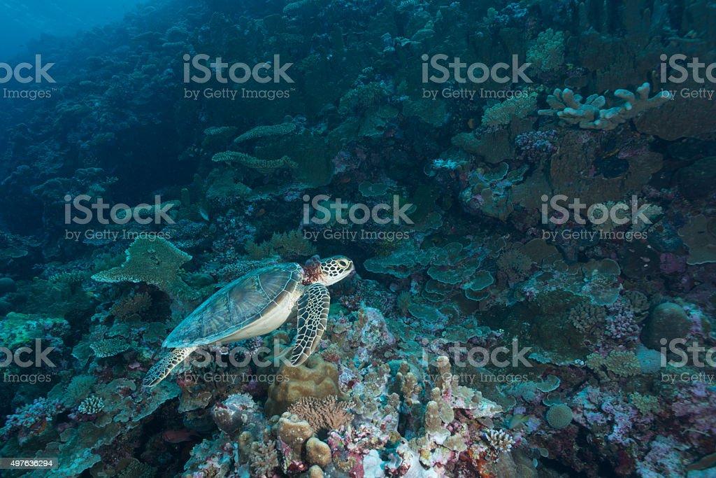 Green Sea Turtle or Hawksbill Sea Turtle - Palau stock photo