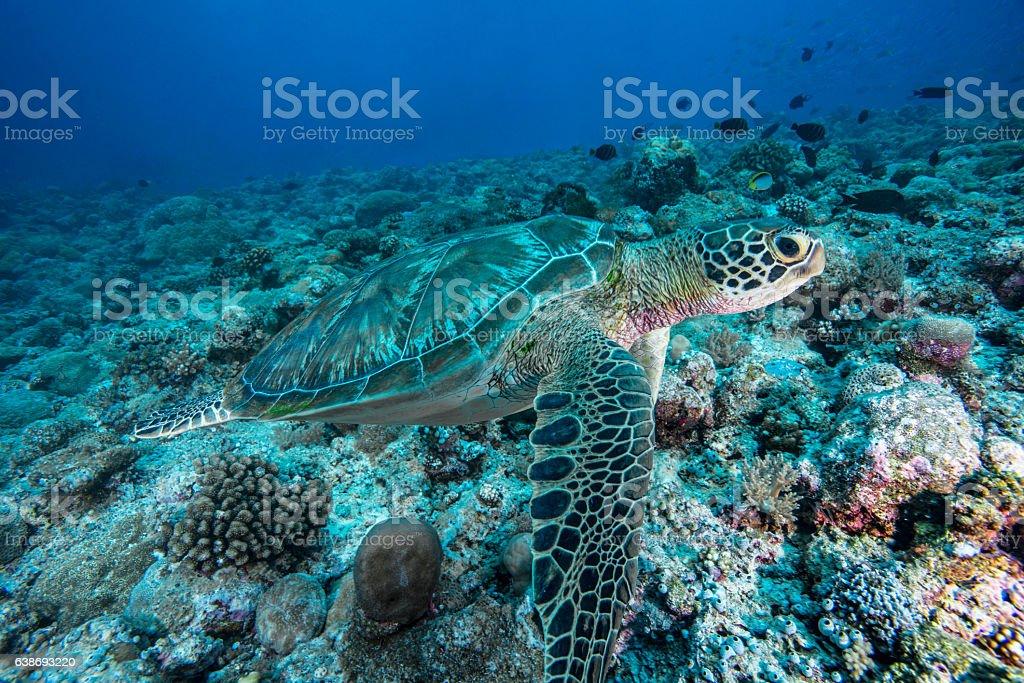 Green Sea Turtle - Palau, Micronesia stock photo