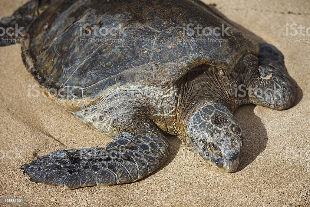 Green Sea Turtle stock photo
