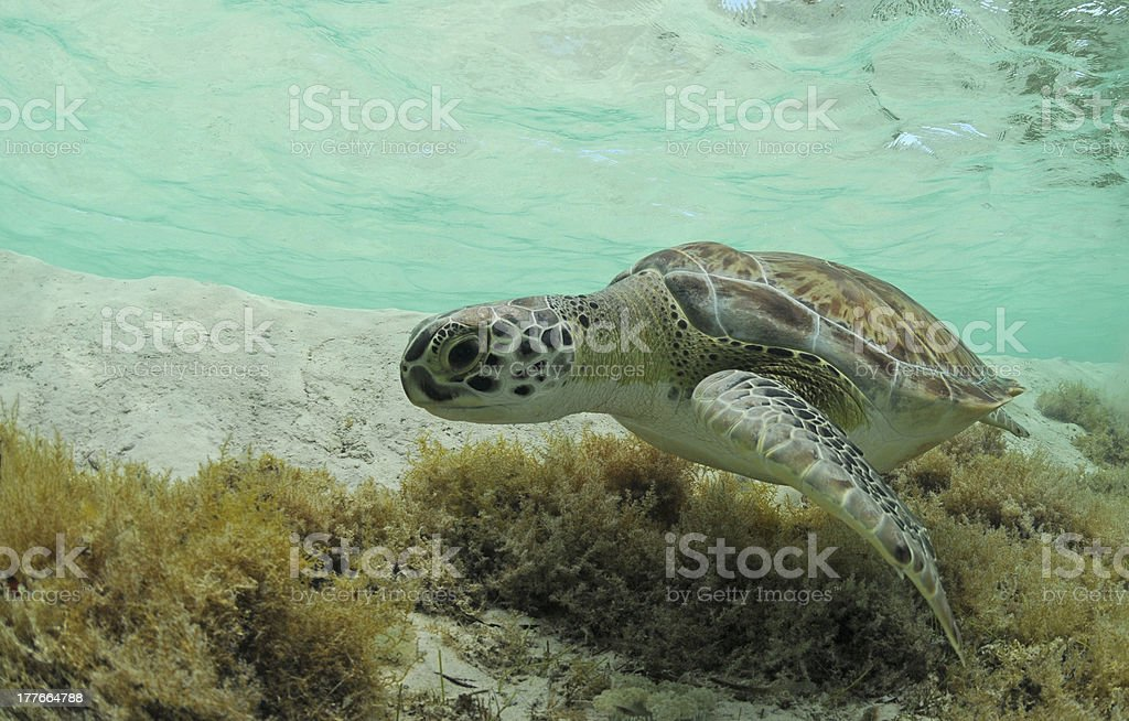 green sea turtle royalty-free stock photo