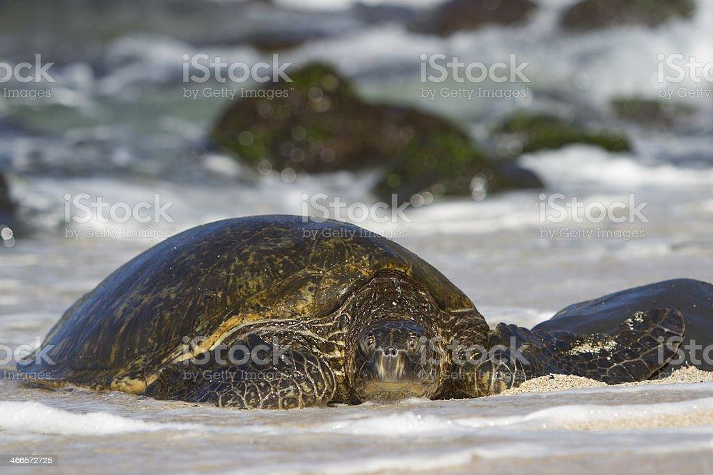 Green Sea Turtle. royalty-free stock photo