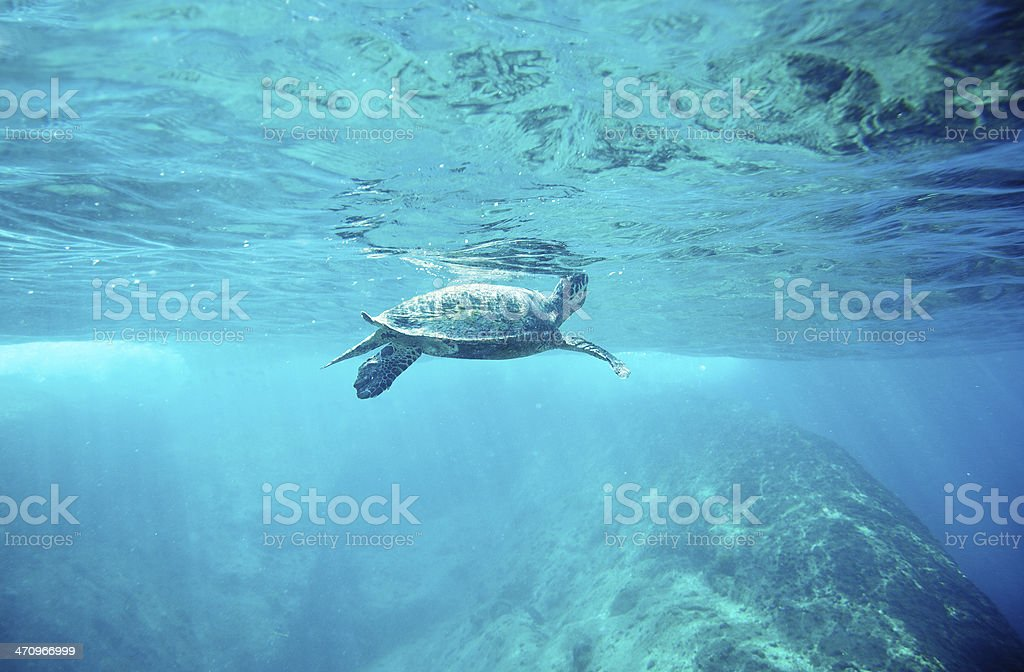 Green Sea Turtle (Chelonia mydas) stock photo