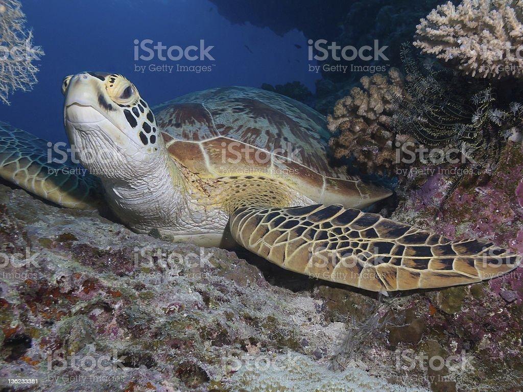 Green sea turtle resting stock photo