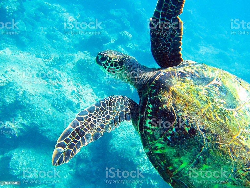 Green Sea Turtle Swimming in Hawaiian Islands, Underwater Photography stock photo