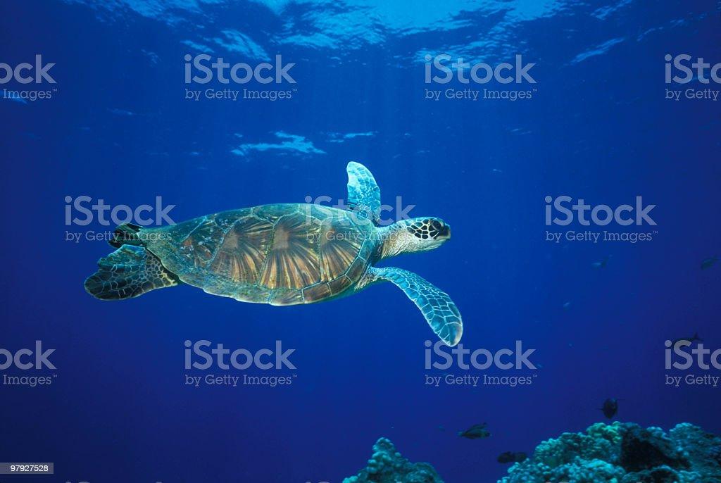 Green sea turtle swimming over Hawaiian reef stock photo