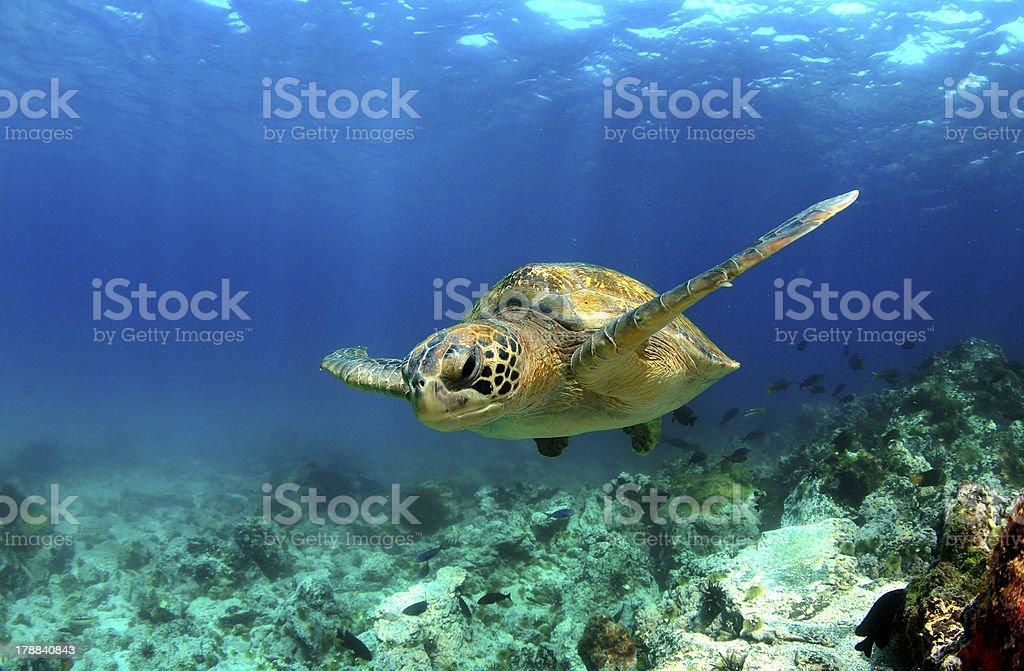Green sea turtle swimming underwater stock photo
