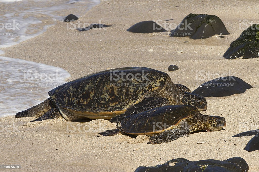 Green Sea Turtle with baby turtle. royalty-free stock photo