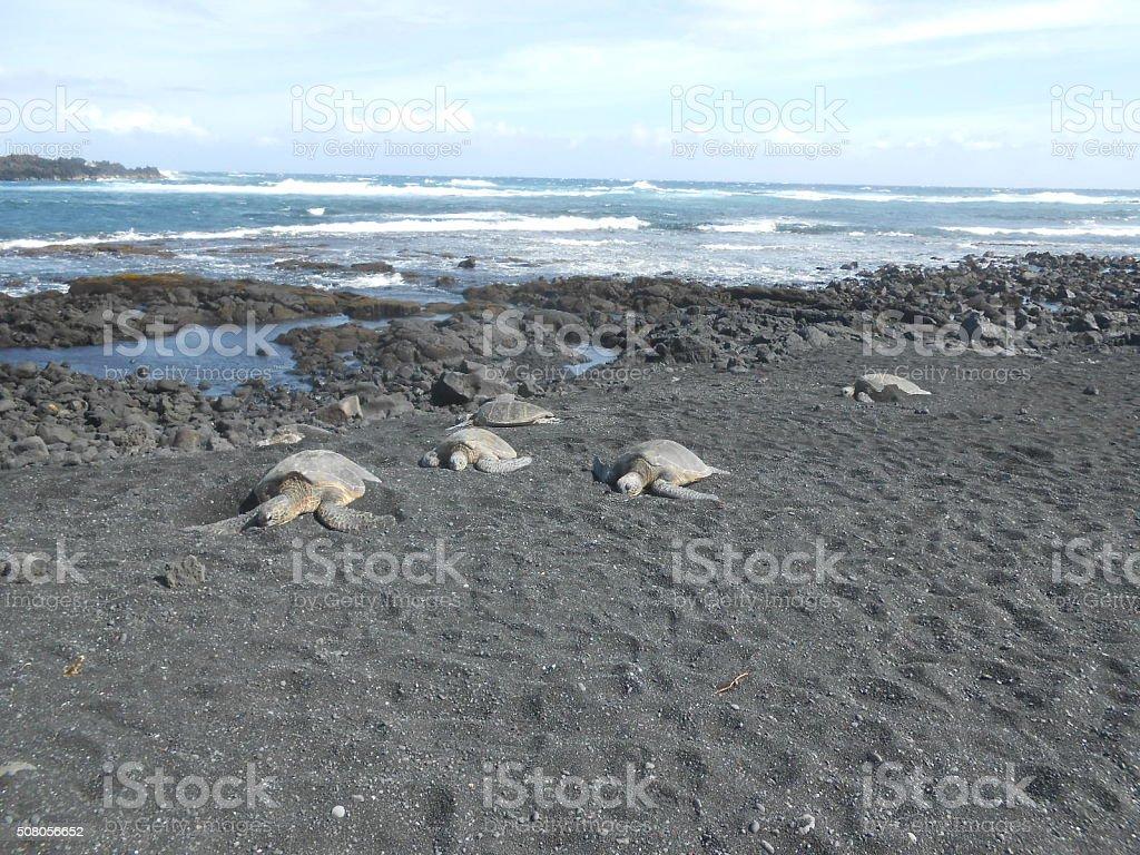 Green Sea Turtles on Punalu'u Beach (Black Sand Beach) in Hawaii. stock photo