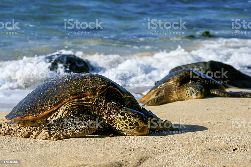 Green Sea Turtles royalty-free stock photo