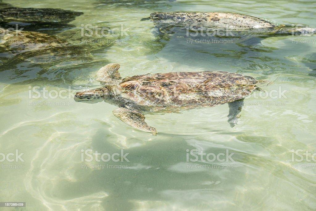 Green Sea Turtles royalty-free stock photo