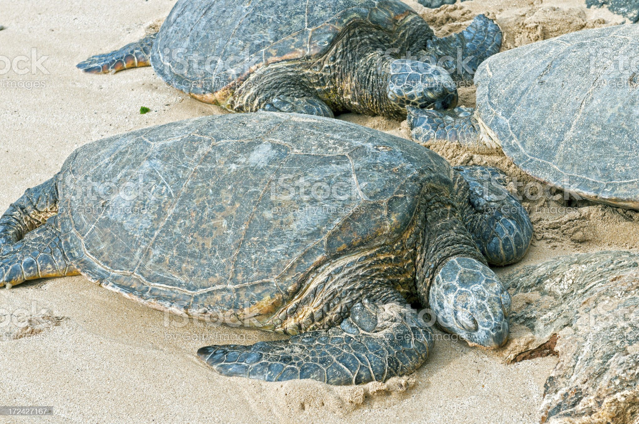 Green sea turtles resting on sandy beach in Hawaii royalty-free stock photo