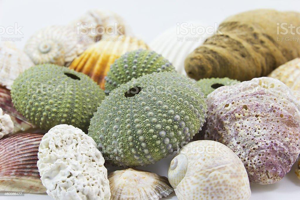 Green sea urchin shell stock photo