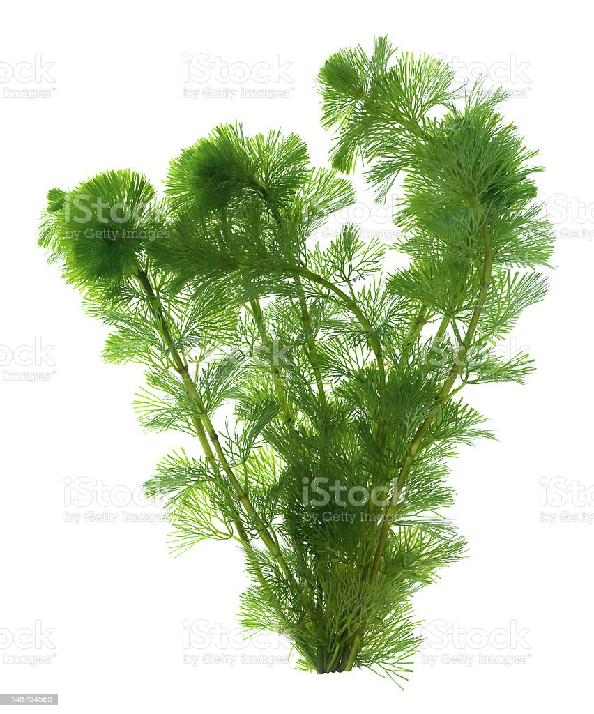 Green seaweed isolated on white background stock photo