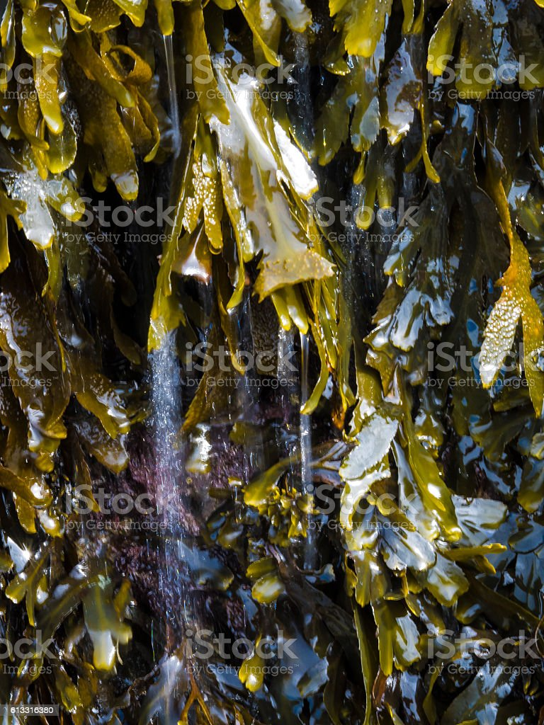 Green seaweed with water sparkling on it stock photo