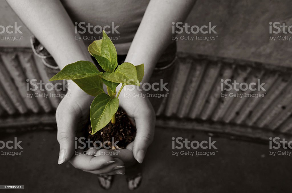Green seedling held with two hands against sepia background royalty-free stock photo