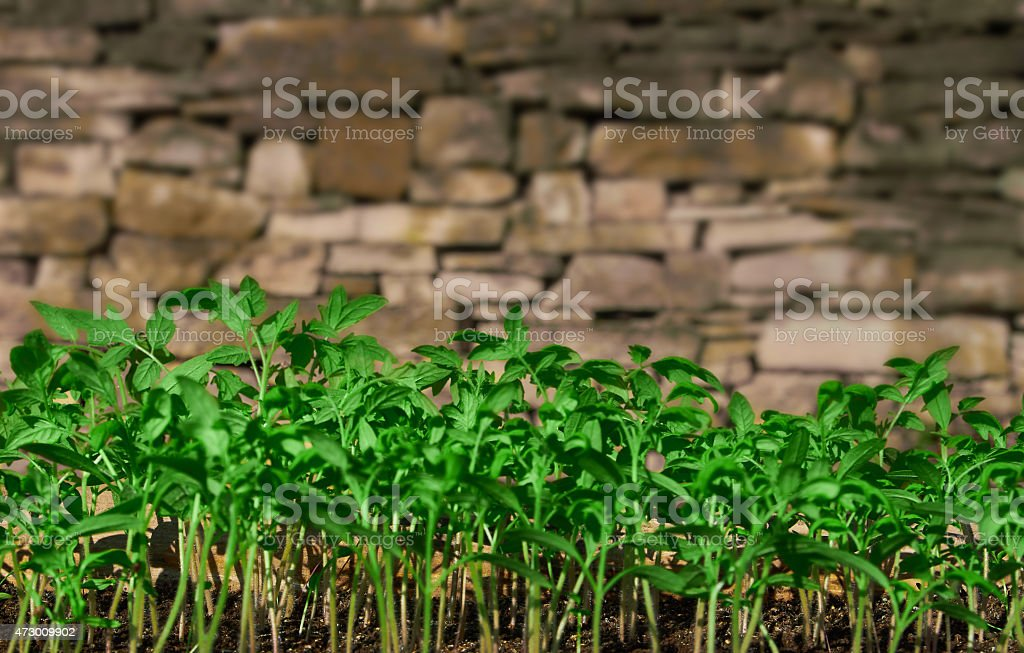 green seedlings for tomatoes royalty-free stock photo