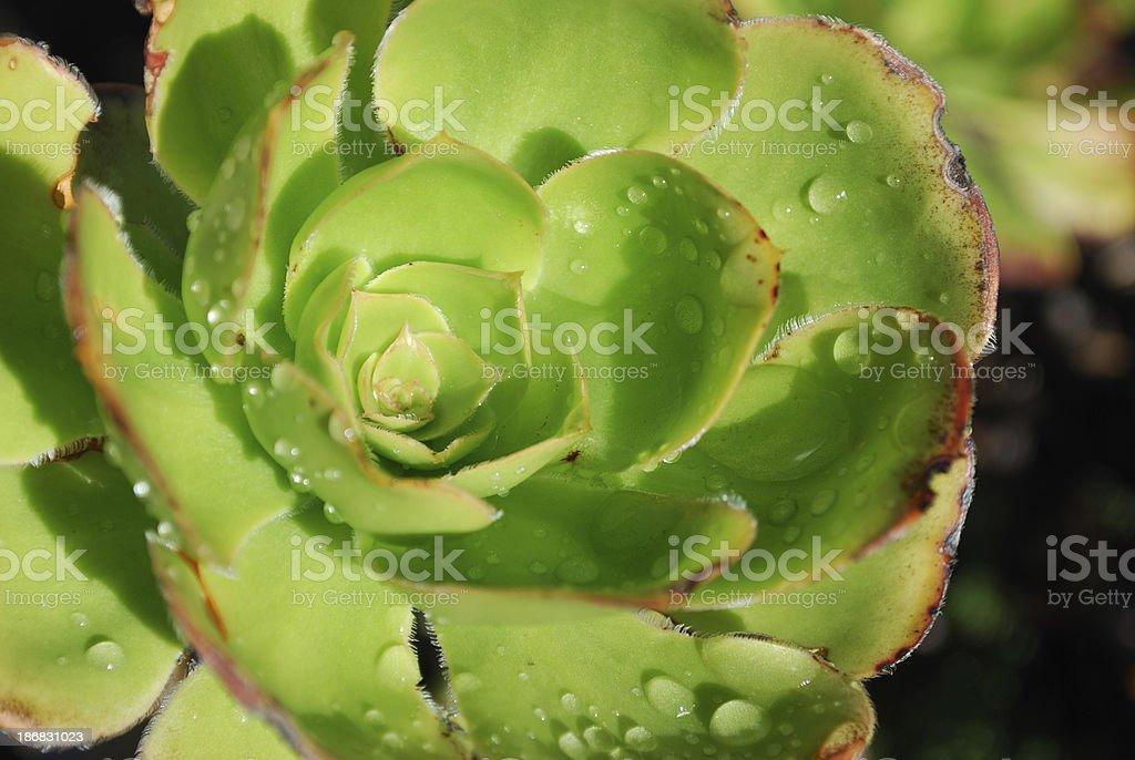 Green Sempervivum Plant stock photo
